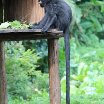 singe noir