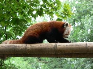 Kleine_panda_zoo_Lille